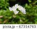 野に咲く純白の花 67354763