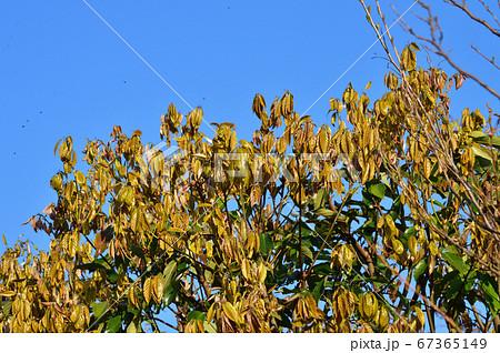 青空を背景として、緑色の葉と茶色の葉を付けている春の樹木を撮影した写真 67365149