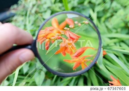 ヒメオウギズイセンの花を虫眼鏡で観察 67367603