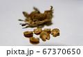 タチアオイの種 半分むいたもの 67370650