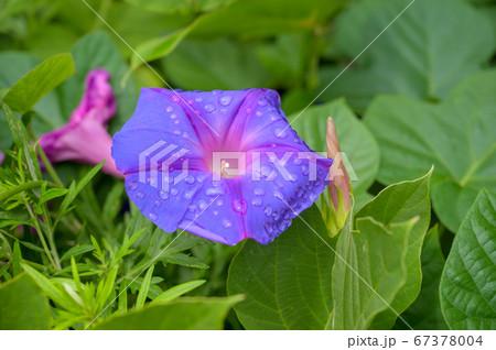 雨上がりの咲いた朝顔の花 67378004