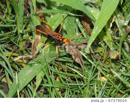 捕らえたクモを運ぶベッコウバチ(ベッコウクモバチ) 67379020