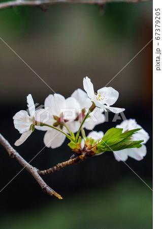 咲いたばかりで白く初々しいソメイヨシノ 67379205