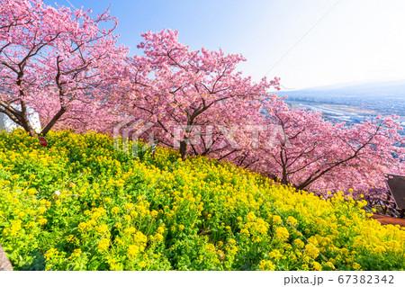 《神奈川県》春爛漫・河津桜と菜の花 67382342