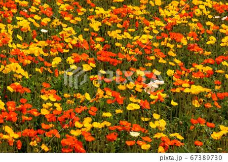 鮮やかな色の南房総のアイスランドポピー(7) 67389730