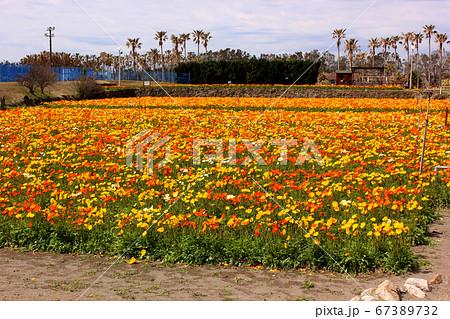 館山ファミリーパークのポピー畑(3) 67389732