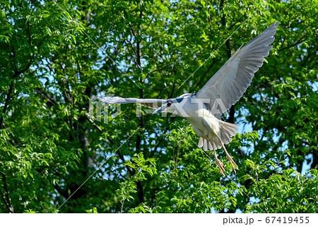 グリーンバックに飛ぶゴイサギの飛翔シーン 67419455