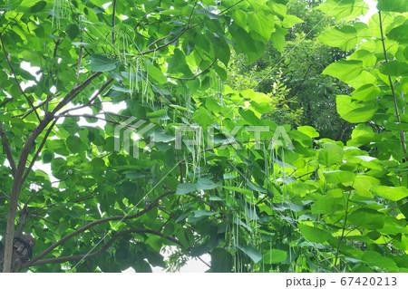 高い枝からぶら下がるアメリカキササゲ(別名カタルパ)の実 67420213