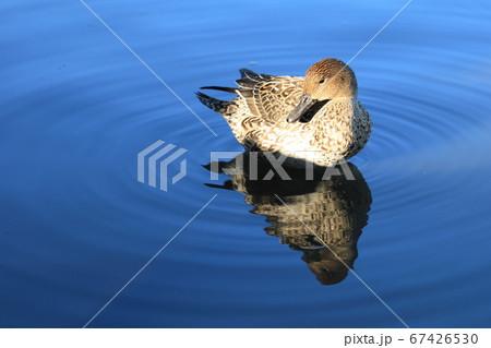 鶴岡八幡宮の池に浮かぶカモと波紋 67426530