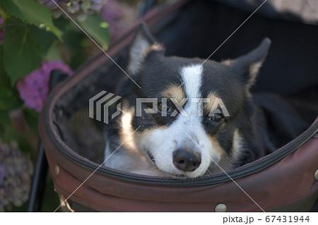 アジサイの咲く通りをドッグカートに乗って可愛い笑を振りまく黒コーギー犬 67431944