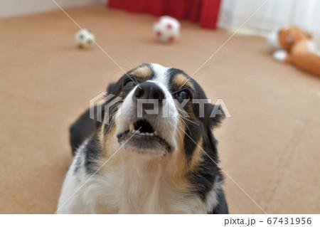 サッカーボールが転がるコルクマットを敷いた屋内で耳を後ろに倒して何か言いたそうに甘える黒いコーギー犬 67431956