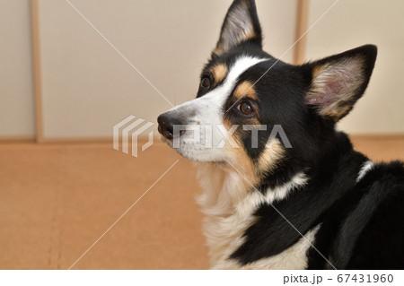足に優しいコルクマットを敷いた室内で飼い主の指示を待つ左向きの黒いコーギー犬 67431960