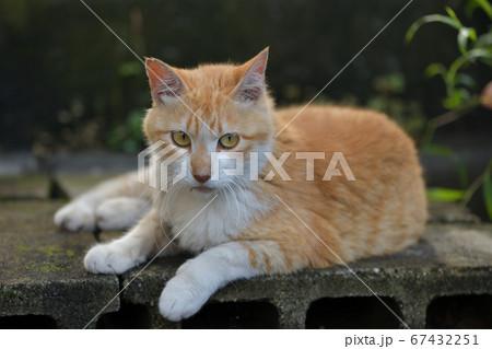 コンクリートブロックの上でポーズを取る茶色い背中で白い足の猫 67432251