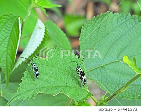 葉っぱにとまる、ユニークな模様のラミーカミキリ 67441573