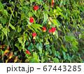 チロリアンランプの可愛い花 67443285