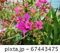 ブーゲンビリアの花 67443475