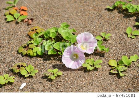 北海道江差町で砂浜に咲く浜昼顔の夏の風景を撮影 67451081