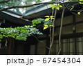 境内に植えられた樹木の葉 67454304