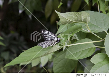 葉に止まるチョウ/アカボシゴマダラ(特定外来生物) 67454384