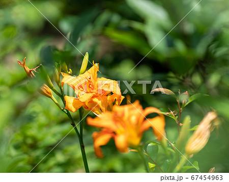 オレンジ色のヤブカンゾウ ユリに似た花 67454963