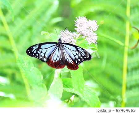 海を渡ってやってきた蝶 アサギマダラ 67464665