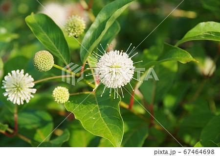 ポンポンと丸くて白い花、谷渡りの木 67464698