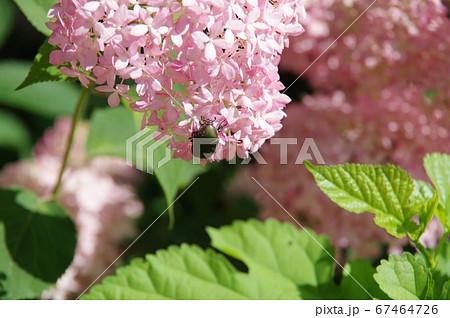 ピンクアナベルの花びらにコガネムシ 67464726
