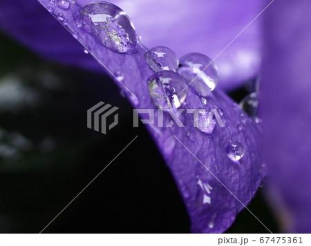 自宅に咲くキキョウの花びらを伝って流れる雨のしずく 67475361