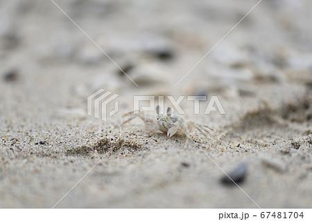 奄美大島の砂浜で生活するスナガニ類 67481704