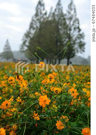 柏・あけぼの山公園に咲く黄花秋桜 67484035