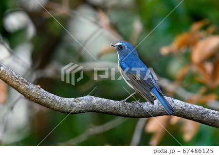 のんびりくつろぐきれいなブルーのルリビタキ オス 67486125