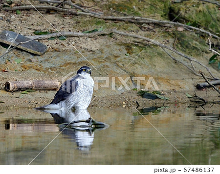 水辺でのんびりくつろぐオオタカ成鳥 67486137