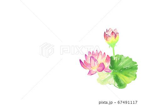水彩で描いた睡蓮のイラスト 67491117