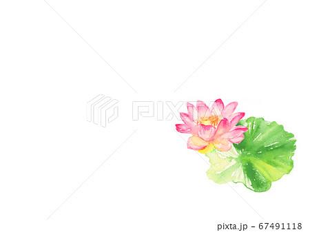 水彩で描いた睡蓮のイラスト 67491118