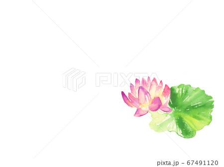 水彩で描いた睡蓮のイラスト 67491120
