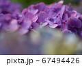 梅雨の季節のアジサイ 67494426