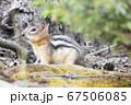 バンフ国立公園のチップマンク 67506085