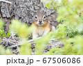 バンフ国立公園のチップマンク 67506086