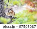 バンフ国立公園のチップマンク 67506087