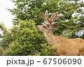 カナダの鹿 67506090