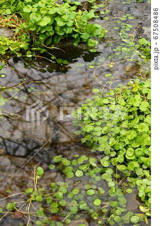 水辺の水草 ウォーターマッシュルーム 67508486