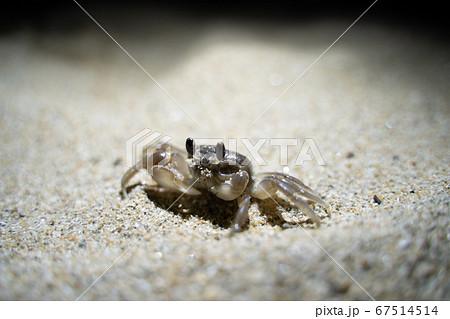 砂浜を散歩するスナガニ(右から) 67514514