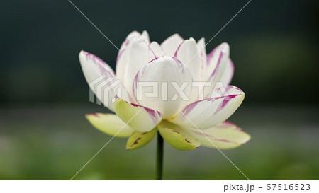 神秘的で幻想さのある美しい花「蓮の花」(01) 67516523