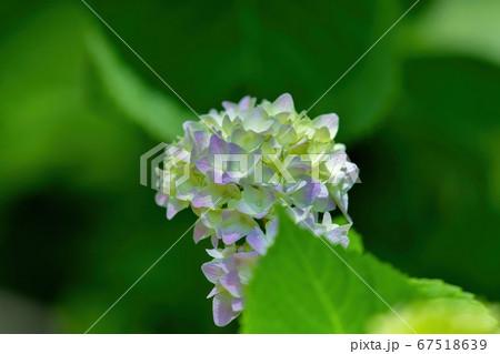 グリーンバックに咲く淡い紫色のパステルカラーのアジサイ 67518639