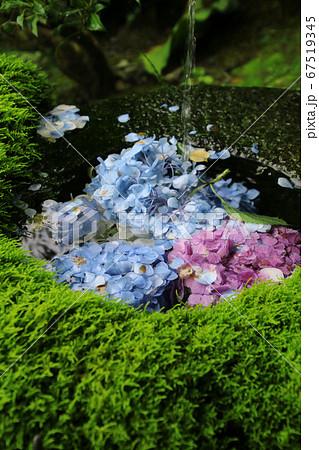 高林寺のアジサイ(福島県・二本松市) 67519345