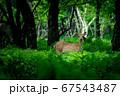 愛冠岬のエゾシカ 67543487