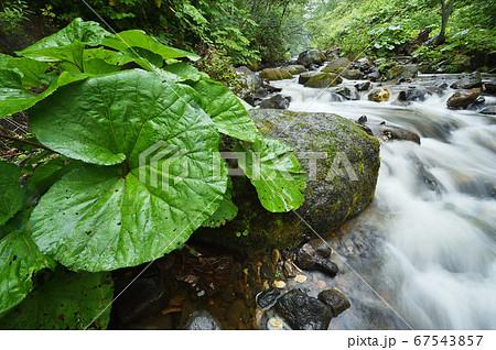 雨に濡れた大きな蕗の葉と川の流れ(北海道・クテクンベツ川) 67543857