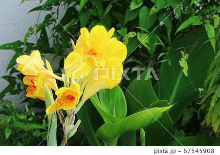 カンナの花弁に見える部分は仮雄しべ 67545908