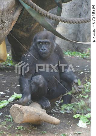 ニシゴリラの子ども(上野動物園/東京都台東区上野公園) 67549894