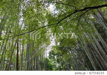 京都の竹林の小径で見上げて見える緑 67558235
